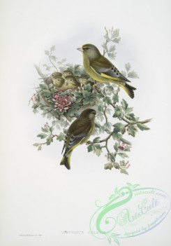 birds-37691 - 390-Ligurinus chloris, Greenfinch