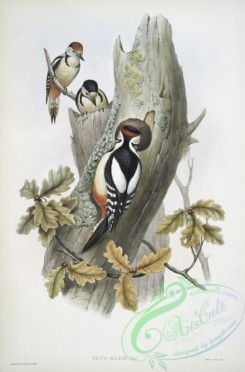 birds-37722 - 421-Picus major, Great Spotted Woodpecker