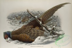 birds-37740 - 442-Phasianus colchicus, Common Pheasant