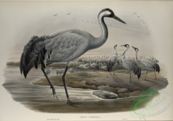 birds-37747 - 449-Grus cinerea, Common Crane