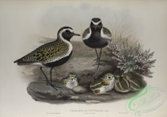 birds-37766 - 468-Charadrius pluvialis, Summer plumage, Golden Plover (summer plumage)