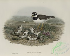 birds-37769 - 471-_gialitis hiaticula, Ringed Plover