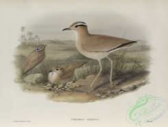 birds-37772 - 474-Cursorius gallicus, Cream-coloured Courser