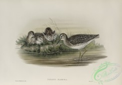 birds-37784 - 487-Totanus glareola, Wood-Sandpiper