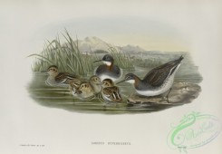 birds-37809 - 513-Lobipes hyperboreus, Red-necked Phalarope