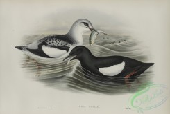 birds-37865 - 572-Uria grylle, Black Guillemot