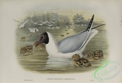 birds-37880 - 587-Chroicocephalus ridibundus, Black-headed Gull