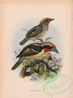 birds-37907 - Black-spotted Barbet, capito niger