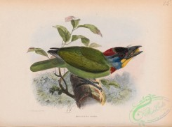 birds-37914 - Chinese Barbet, megalaema faber