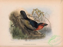 birds-37946 - pogonorhynchus abyssinicus