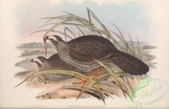birds-38198 - Buffy-crowned Wood-Partridge, dendrortyx leucophrys