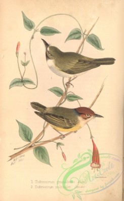 birds-38657 - Black-throated Tody-Tyrant, todirostrum granadense, todirostrum multicolor