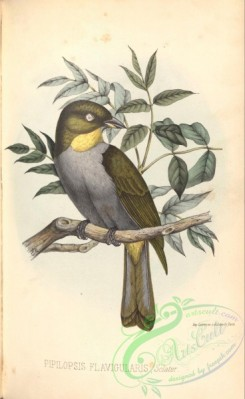 birds-38672 - Yellow-throated Bush-Tanager, pipilopsis flavigularis