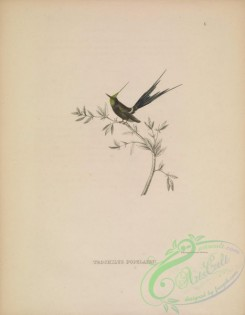birds-39473 - 006-Wire-crested Thorntail, trochilus popelairii