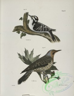 birds-42991 - 1281-32, The Hairy Woodpecker (Picus villosus), 33, The Golden-winged Woodpecker (Picus auratus)