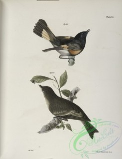 birds-43007 - 1297-68, The American Redstart (Muscicapa ruticilla), 69, The Wood Pewee (Muscicapa virens)