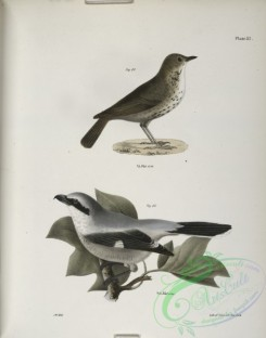 birds-43013 - 1303-80, The Hermit Thrush (Merula solitaria), 81, The Northern Butcher-bird (Lanius septentrionalis)