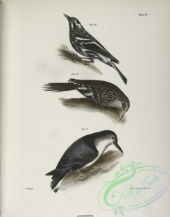 birds-43017 - 1307-89, The Varied Creeping Warbler (Mniotilta varia), 90, The Brown Creeper (Certhia americana), 91, The White-breasted Nutchatch (Sitta carolinensis)