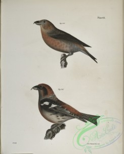 birds-43039 - 1329-144, The American Crossbill (Loxia americana), 145, The White-winged Crossbill (Loxia leucoptera)