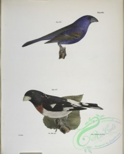 birds-43040 - 1330-146, The Blue Grosbeak (Coccoborus ceruleus), 147, The Rose-breasted Grosbeak (Coccoborus ludovicianus)