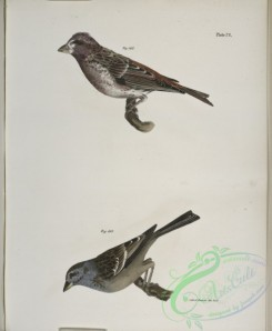 birds-43048 - 1338-163, The Crested Purple Finch ( Erythrospiza purpurea), 164, The Tree Bunting (Emberiza canadensis)