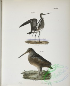 birds-43078 - 1369-230, The Ring-tailed Marlin (Limosa hudsonica), 231, The American Woodcock (Rusticola minor)