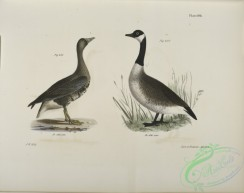 birds-43081 - 1372-236, The White-fronted Goose (Anser albifrons), 237, The Wild Goose (Anser canadensis)