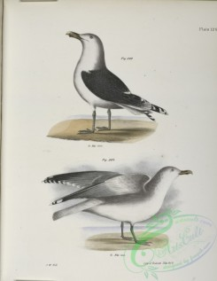 birds-43104 - 1395-283, The Great Black-backed Gull (Larus marinus), 284, The Winter Gull (Larus argentatus)