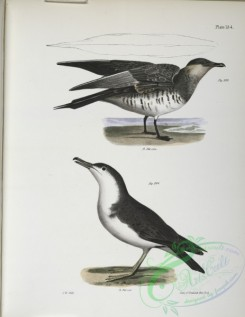 birds-43109 - 1400-293, Richardson's Hawk Gull (Lestris richardsoni), 294, The Little Shearwater (Puffinus cinereus)