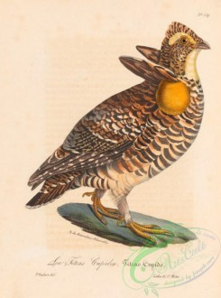 birds-45337 - 021-Greater Prairie-chicken, tetrao cupido