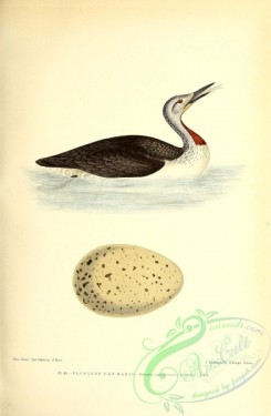 birds-45547 - 040-Red-Throated Diver, colymbus septentrionalis