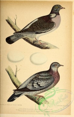 birds-45638 - 001-Common Wood-Pigeon, columba palumbus, Stock Pigeon, columba oenas