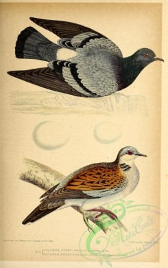 birds-45639 - 002-Rock Pigeon, columba livia, European Turtle-Dove, columba turtur