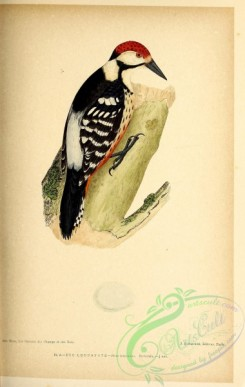 birds-45642 - 005-White-backed Woodpecker, picus leuconotus