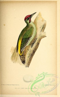 birds-45645 - 008-Eurasian Green or Iberian Woodpecker, picus viridis
