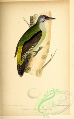 birds-45646 - 009-Grey-faced Woodpecker, picus canus