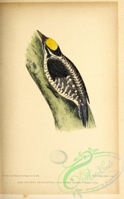 birds-45647 - 010-Eurasian Three-toed Woodpecker, picoides tridactylus
