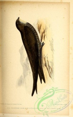 birds-45657 - 020-European Swift, cypselus apus