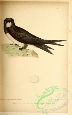 birds-45658 - 021-Alpine Swift, cypselus melba