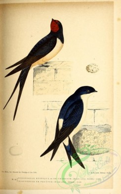 birds-45659 - 022-Barn Swallow, hirundo rustica, Northern House-Martin, hirundo urbica