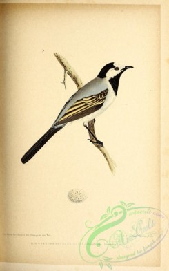 birds-45668 - 031-White or Black-backed Wagtail, motacilla alba