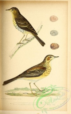 birds-45670 - 033-anthus rufescens, Tree Pipit, anthus arboreus