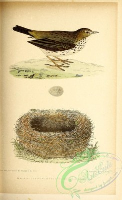 birds-45671 - 034-Meadow Pipit, anthus pratensis