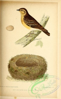 birds-45674 - 037-Wood Lark, alauda arborea