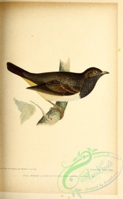 birds-45684 - 047-Black-throated Thrush, turdus atrogularis