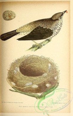 birds-45685 - 048-Mistle Thrush, turdus viscivorus