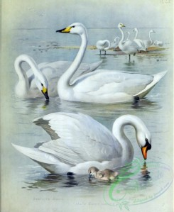 birds_by_thorburn-00001 - Bewick's Swan, Mute Swan, Whooper Swan