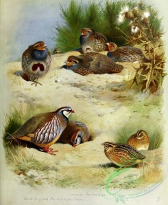 birds_by_thorburn-00004 - Common Partridge, Red-legged Partridge, Quail