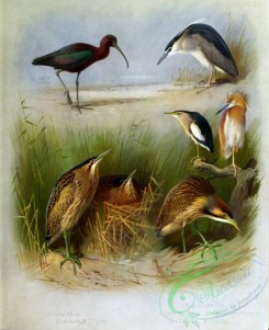 birds_by_thorburn-00005 - Glossy Ibis, Common Bittern, Night Heron, Little Bittern, Squacco Heron, American Bittern