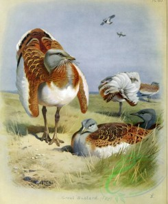 birds_by_thorburn-00006 - Great Bustard